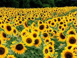 Field_of_Sunflowers_Kentucky