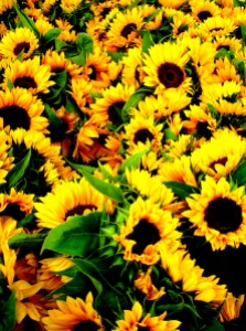 sunflowers galore